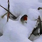 Robin Red Breast in the Snow by Jacqueline Longhurst