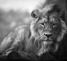 Asiatic Lion - Sleepy Head by CelticOrigins