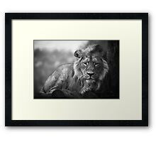 Asiatic Lion - Sleepy Head Framed Print