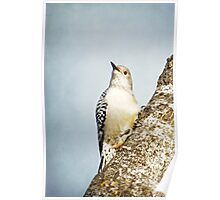 Red-Bellied Woodpecker ~ Poster