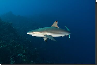 Caribbean Reef Shark by Todd Krebs