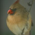 Female Cardinal  by Kent Nickell