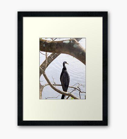 Anhinga - Everglades National Park Framed Print