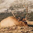 Bull Elk Napping by Greg Summers