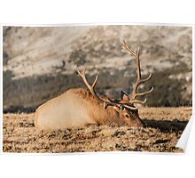 Bull Elk Napping Poster