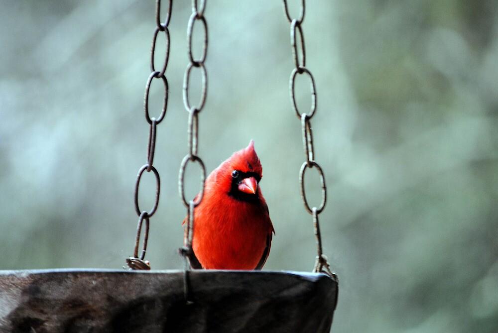 Mr. Cardinal by DottieDees