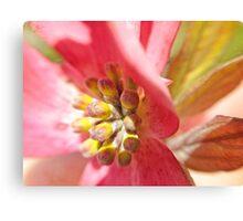 Macro Pink Dogwood Blossom Canvas Print