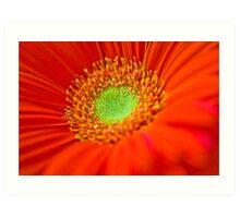 Macro Orange Gerber Daisy Flower Art Print