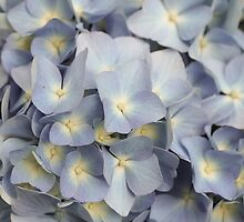 Blue Hydrangea 3 by Elizabeth Thomas