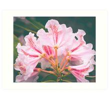 White Pink Azalea Flower Art Print