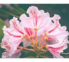 White Pink Azalea Flower Photographic Print