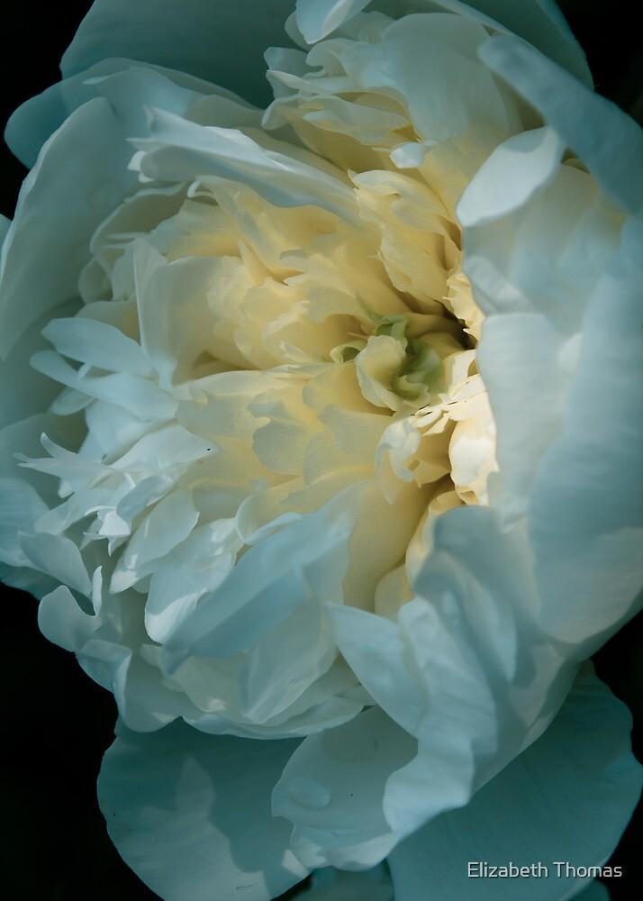 White Yellow Peony Flower by Elizabeth Thomas