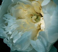 White Yellow Peony Flower by Elizabeth Thomas