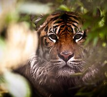 Sumatran Tiger - Hide and Seek by CelticOrigins