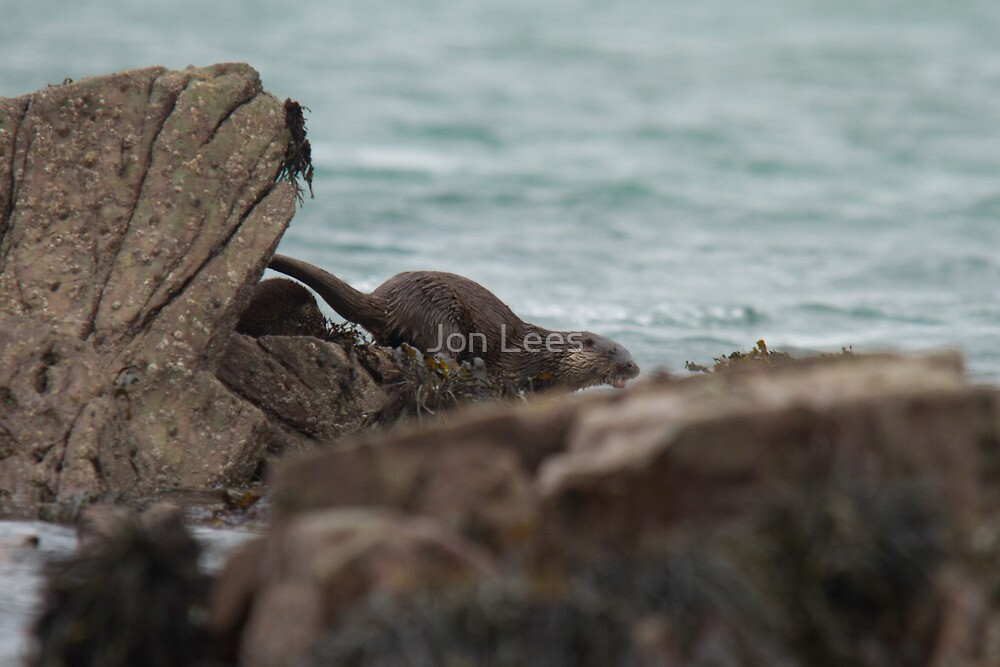 Otter in Strangford Lough  by Jon Lees