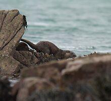 Otter in Strangford Lough  by Jon Lees