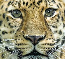 Amur Up Close by Mark Hughes