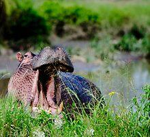 Hippo in the morning by JKutchera