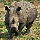 Rhino by Steven  Agius