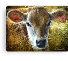 baby bovine Canvas Print