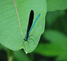 Damselfly by Bob Hardy