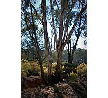 Eucalypt's and Wattle by Lorraine McCarthy Photographic Print
