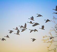 Canadian Geese in Flight by Tobin Rogers