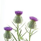 Scotch Thistle by John Holding