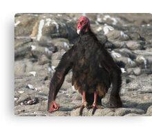 Chimpanzee Vulture Canvas Print