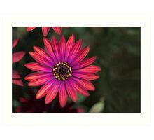 Osteaspermum 'Elite Ruby' Flowers Art Print