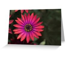 Osteaspermum 'Elite Ruby' Flowers Greeting Card