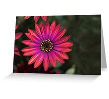Osteaspermum 'Elite Ruby' Flowers Greeting Card