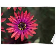 Osteaspermum 'Elite Ruby' Flowers Poster