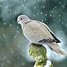 Collared Dove by Goldendays