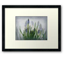 Muscari, grape hyacinths, blauwe druifjes, Traubenhyazinthe,Muscari en grappe  Framed Print
