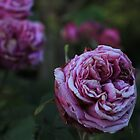 There is no other Rose by jeune-jaune