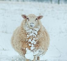 Snowy Sheep Shot by cameraimagery