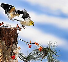 Goldfiches flying over lichen stump by Randy Branham