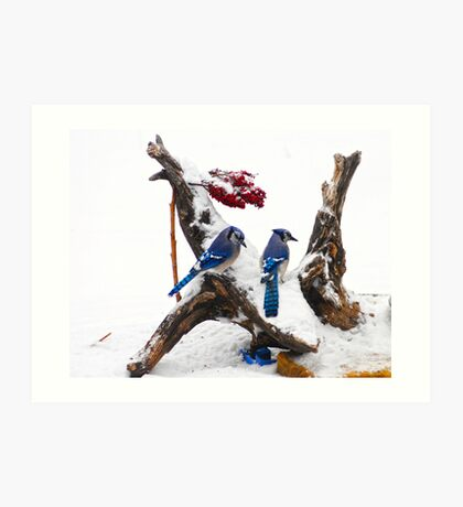 Blue jays in Winter Art Print