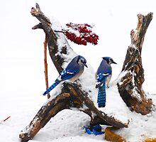 Blue jays in Winter by Randy Branham