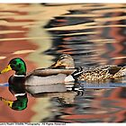 Mallard Couple by Dennis Stewart