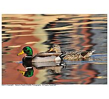 Mallard Couple Photographic Print