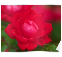 Red Rose in Bloom with Morning Dew Poster