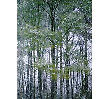 Pine trees Photographic Print