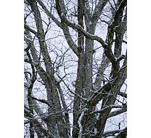 Oak Branches Photographic Print