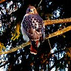 Tuft's Red Tail Hawk l by BavosiPhotoArt