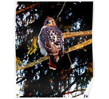 Tuft's Red Tail Hawk l Poster