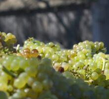 Harvested Chardonnay Sticker