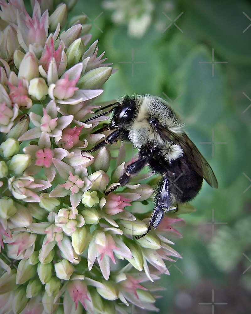 Bumble Bee On Sedum ll by BavosiPhotoArt