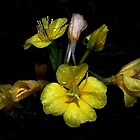 Evening Primrose  by BavosiPhotoArt